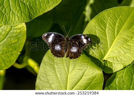 Great Eggfly butterfly sitting on green leaf in early morning sunlight - stock photo