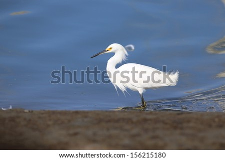 Great Egret - stock photo