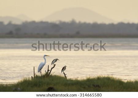 Great egret an heron in Arugam bay lagoon, Sri Lanka ; species Ardea alba and Ardeola grayii in Pottuvil nature reserve - stock photo