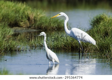 Great egret and little egret in Pottuvil, Sri Lanka ; specie Ardea alba and egretta garzetta  - stock photo