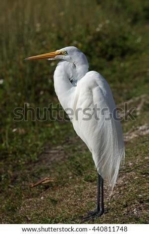 Great egret - [Ardea alba] - stock photo