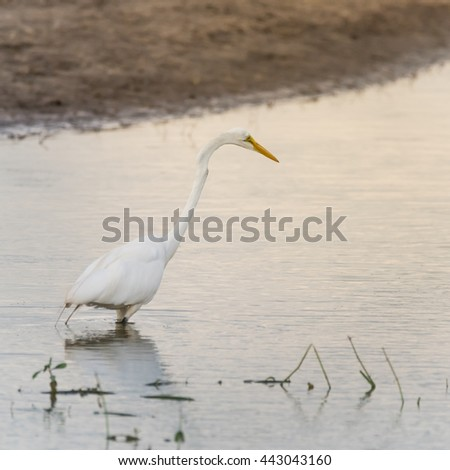 Great Egret (Ardea alba) around water in Houston, Texas, US. North America resident bird with completely white plumage, yellow bill, black legs and feet, s-curve neck,common heron of wetland and swamp - stock photo