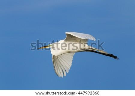 Great Egret (Ardea alba) flying in blue sky - stock photo