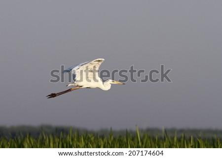 great egret ( ardea alba )  flying over swamps - stock photo