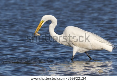 Great egret (Ardea alba) hunting in tidal marsh, Galveston, Texas, USA - stock photo