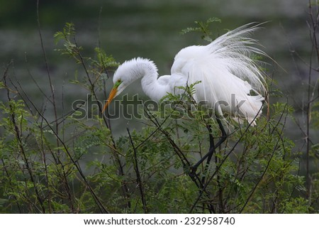 Great Egret (Ardea alba) in Breeding Plumage Perched at Texas Rookery - stock photo