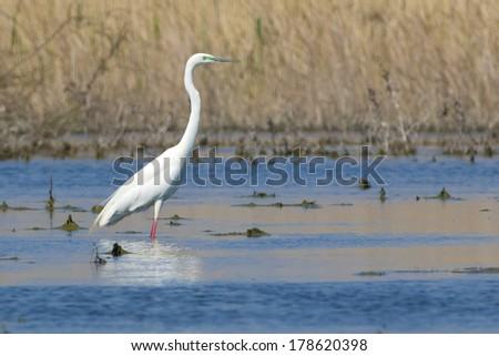 Great Egret (Ardea alba) in Danube Delta - stock photo