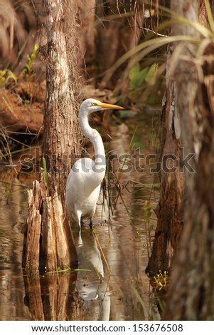 Great Egret (Ardea alba) in Everglades National Park  Great Egret (Ardea alba), also known as common egret, large egret or great white heron. Everglades National Park, Florida, USA - stock photo