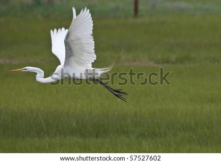 Great Egret (Ardea alba) in flight over grass land in Long Island New York - stock photo