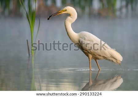 Great egret (Ardea alba) with fish - stock photo