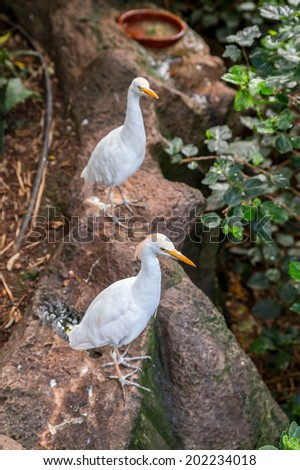 Great Egret, Ardea alba, with its white plumage and yellow beak. - stock photo