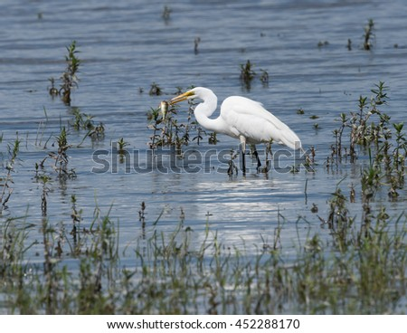 Great Egret Caught a Fish