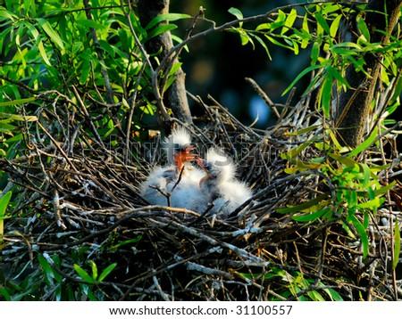 great egret chicks in nest - stock photo