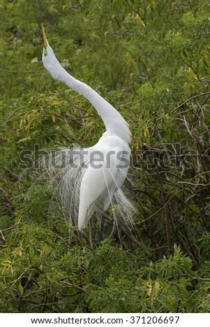Great Egret doing a mating dance