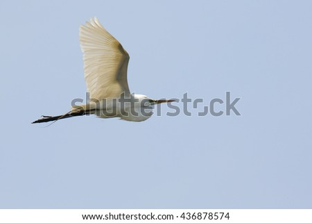 Great egret flying against a blue sky