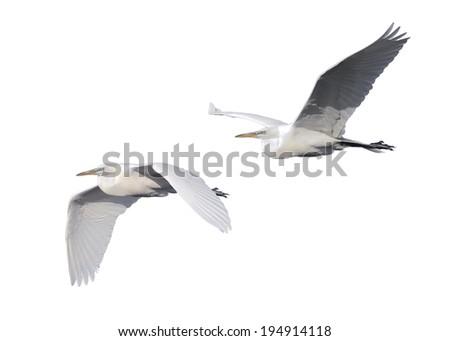 Great Egret flying on white background - stock photo