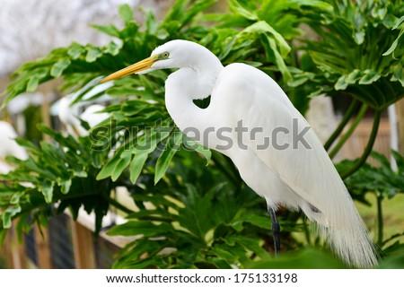 Great Egret (Heron) - stock photo