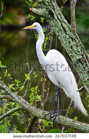 Great Egret, Heron - stock photo