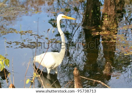 Great Egret hunts in the swamp.