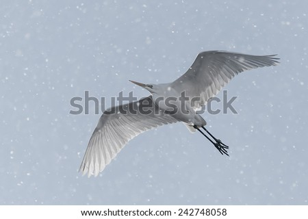 Great egret in flight with backlight and slightly desaturated, surrounded by many snowflakes - stock photo