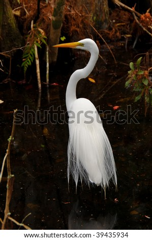Great Egret in full plumage