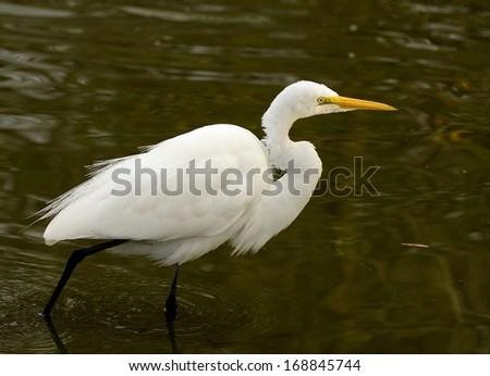 Great Egret, Or Great White Heron (Ardea alba) In Natural Habitat - stock photo