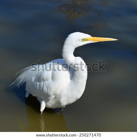 Great Egret, Or Great White Heron (Ardea alba) In Natural Habitat With Reflection In Water.