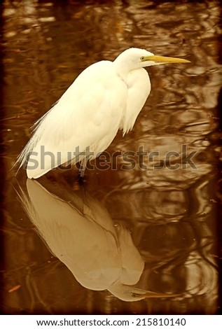 Great Egret, Or Great White Heron (Ardea alba) In Natural Habitat With Reflection In Water, with instagram-type filter effect added for vintage, retro look. - stock photo