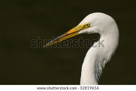Great Egret Portrait in Profile
