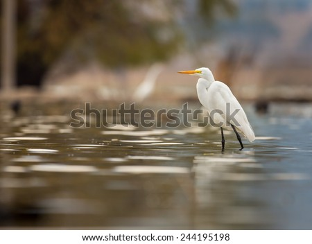 Great Egret searching for fish in the afternoon sun. This photo could be used as a basis for a painting or watercolor. The pastel blue shade of the natural light makes an attractive background. - stock photo
