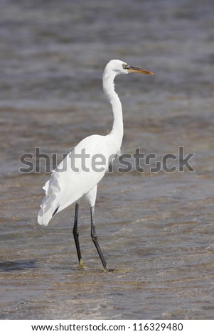 Great Egret standing in water