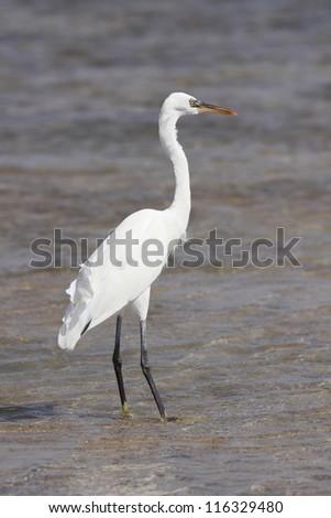 Great Egret standing in water - stock photo