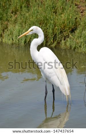 Great Egret wading - stock photo