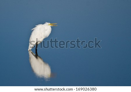Great Egret Wading in Shallow Water - stock photo