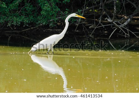 Great Egret wading in the shallow water looking for a meal.
