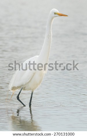 Great Egret wading through the shallow water looking for a meal. - stock photo