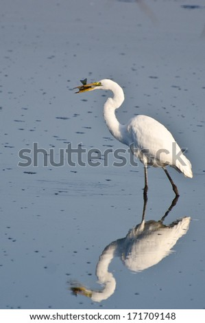 Great Egret With Caught Fish