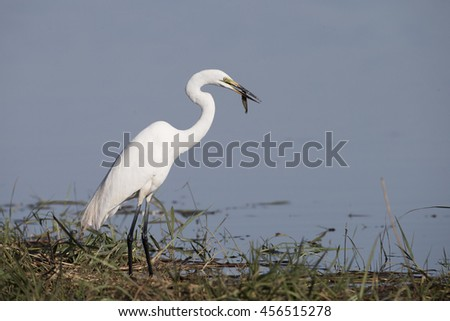 Great Egret with Fish - stock photo