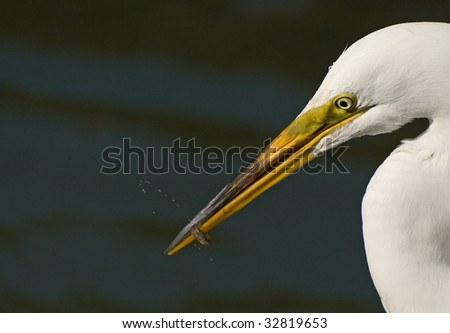 Great Egret with Small Fish Catch in Bill head portrait