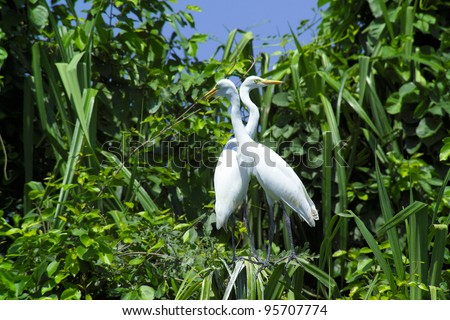 Great Egrets (Ardea alba), also known as Great White Egret, Common Egret, or Great White Herons - stock photo
