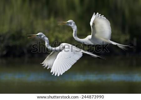 Great Egrets in flight. Latin name - Ardea alba. - stock photo