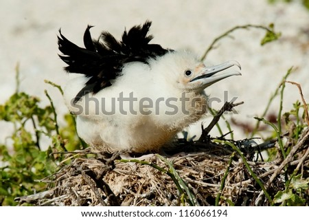 Great frigatebird (Fregata minor) chick in its nest, Darwin Bay, Genovesa Island, Galapagos Islands, Ecuador - stock photo