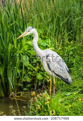 Great gray Heron watching and waiting for a catch at the lake - stock photo