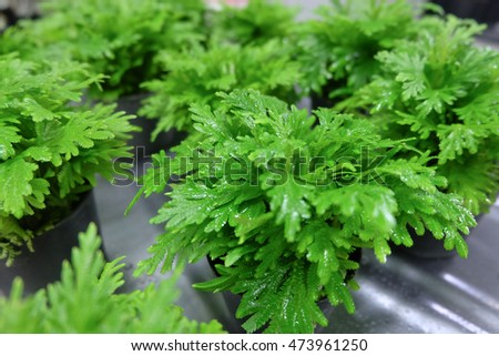 great green bush of fern in the forest. fern background, green fern