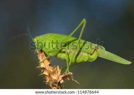 Great green bushcricket close-up  /  Tettigonia Viridissima - stock photo