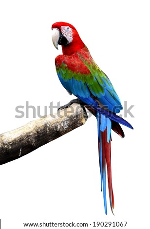 Great Green-winged macaw bird perching on the log isolated on white background