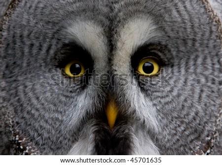 Great Grey Owl - stock photo