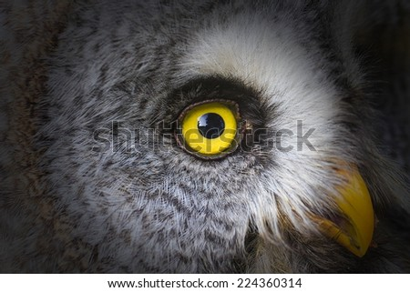 Great Grey Owl close up right eye - stock photo