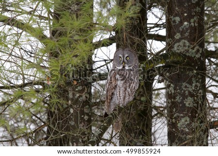 Great grey owl in a tree overlooking a snow covered field (Strix nebulosa)