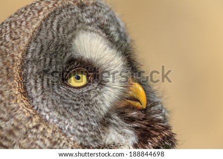 Great Grey Owl in detail - stock photo